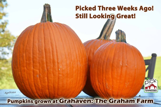 1746_Pumpkins_Three_Weeks_F