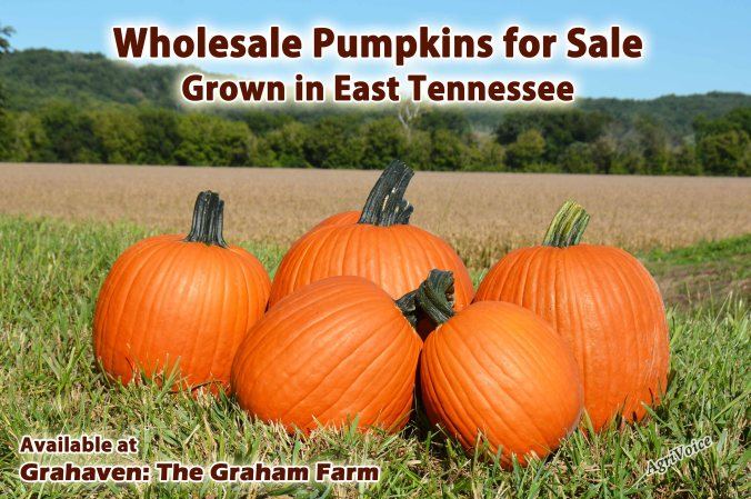 508_Pumpkins_Wholesale_Blog_F